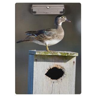 Wood Duck female on nest box in wetland Clipboard