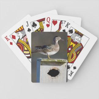 Wood Duck female on nest box in wetland Poker Deck