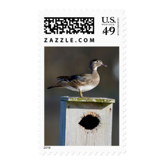 Wood Duck female on nest box in wetland Postage Stamps