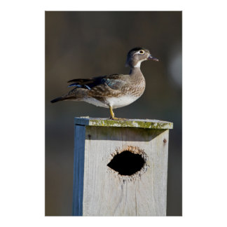 Wood Duck female on nest box in wetland Poster