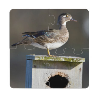 Wood Duck female on nest box in wetland Puzzle Coaster