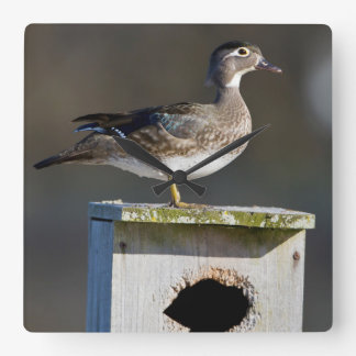 Wood Duck female on nest box in wetland Square Wall Clock