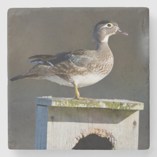 Wood Duck female on nest box in wetland Stone Coaster