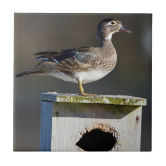 Wood Duck female on nest box in wetland Tile