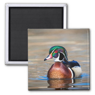 Wood Duck in a pond Magnet