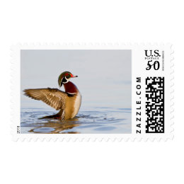 Wood Duck male flapping wings in wetland Postage