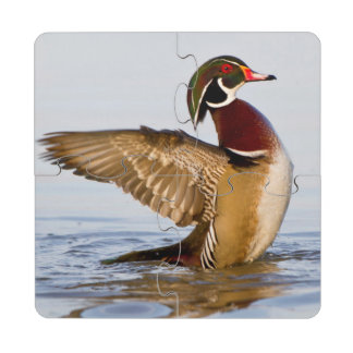 Wood Duck male flapping wings in wetland Puzzle Coaster