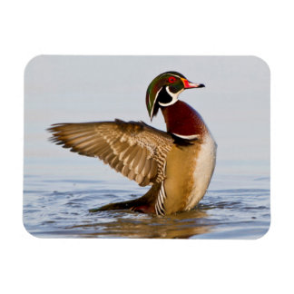 Wood Duck male flapping wings in wetland Rectangular Photo Magnet
