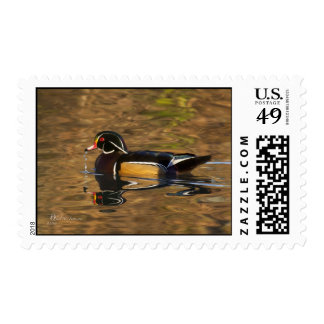 Wood Duck Male in evening light Card Postage Stamp