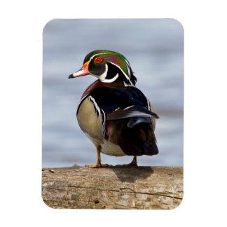 Wood Duck male on log in wetland Magnet