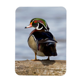 Wood Duck male on log in wetland Rectangular Photo Magnet
