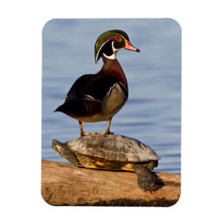 Wood Duck male standing on Red-eared Slider Rectangular Photo Magnet
