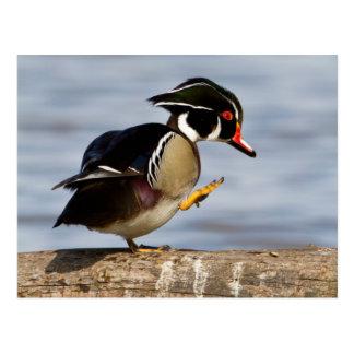 Wood Duck on log in wetland Postcard