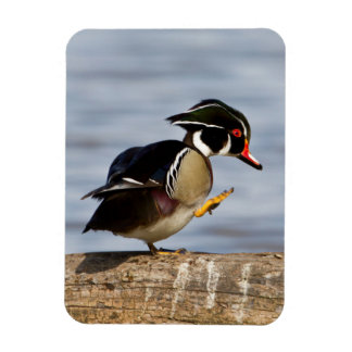 Wood Duck on log in wetland Rectangular Magnets