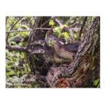 Wood Duck Postcard