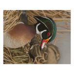 Wood Duck Posters