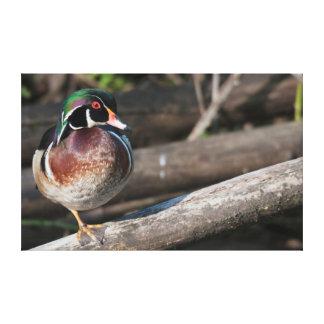 Wood Duck Resting Canvas Print