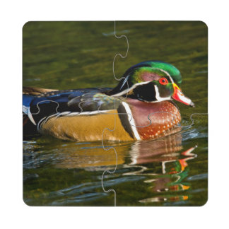 Wood Duck swimming, Crystal Springs Rhododendron Puzzle Coaster