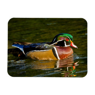 Wood Duck swimming, Crystal Springs Rhododendron Rectangular Photo Magnet