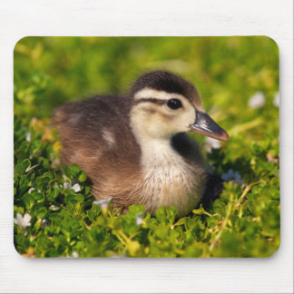 Wood duckling on the shoreline of Lindo Lake Mouse Pad