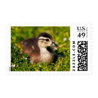 Wood duckling on the shoreline of Lindo Lake Postage Stamp