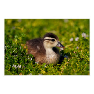 Wood duckling on the shoreline of Lindo Lake Poster