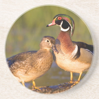 Wood Ducks and female on log in wetland Drink Coaster
