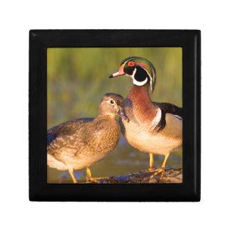 Wood Ducks and female on log in wetland Gift Box