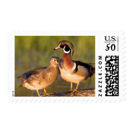 Wood Ducks and female on log in wetland Postage