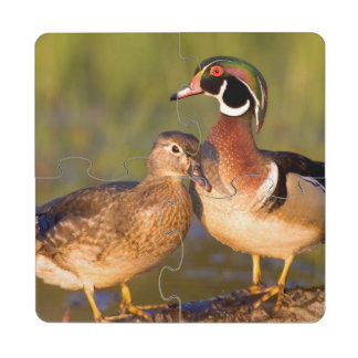 Wood Ducks and female on log in wetland Puzzle Coaster