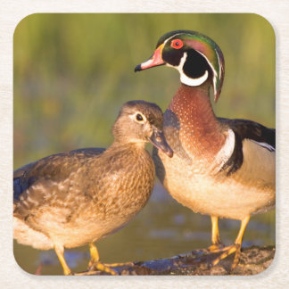 Wood Ducks and female on log in wetland Square Paper Coaster
