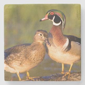 Wood Ducks and female on log in wetland Stone Coaster