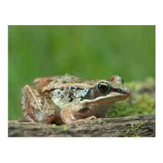 Wood frog. Rana sylvatica Postcard