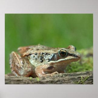 Wood frog. Rana sylvatica Poster