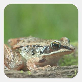 Wood frog. Rana sylvatica Square Sticker