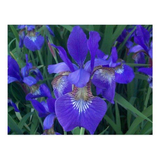Wood Iris Postcard