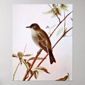 Wood Pewee Bird Illustration Poster