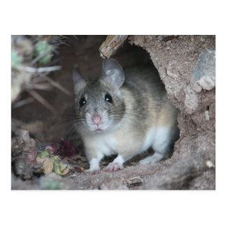 Wood Rat Postcard
