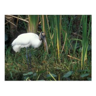 Wood Stork in Everglades National Park Postcard