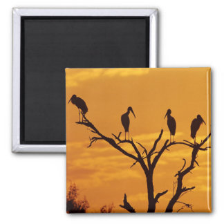 Wood Stork, Mycteria americana,adults at 2 Inch Square Magnet