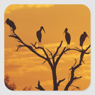 Wood Stork, Mycteria americana,adults at Square Sticker