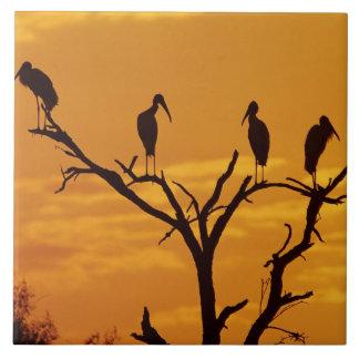 Wood Stork, Mycteria americana,adults at Tiles