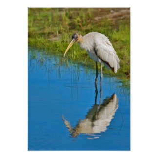 Wood Stork Pondering at the Pond Poster