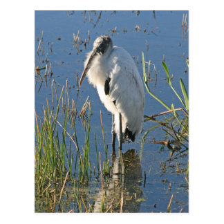 Wood Stork Postcard