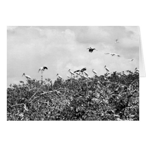 Wood Storks, Cuthbert Rookery, Florida Everglades Card
