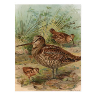 """Woodcock"" Vintage Bird Illustration Postcard"