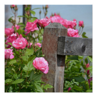 Wooden Fence and Roses Poster