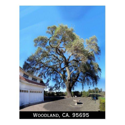 Machado Landscaping Woodland Ca : Woodland ca tree postcard zazzle
