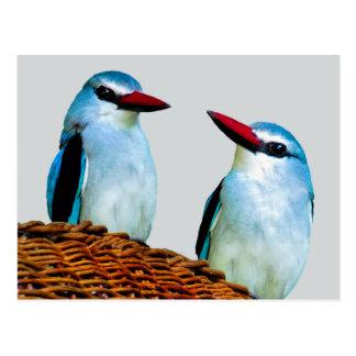 Woodland Kingfisher birds Postcard