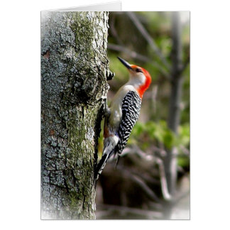 WoodPecker - Red Bellied Greeting Card